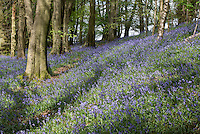 Bluebells in a wood, Whitewell, Lancashire.