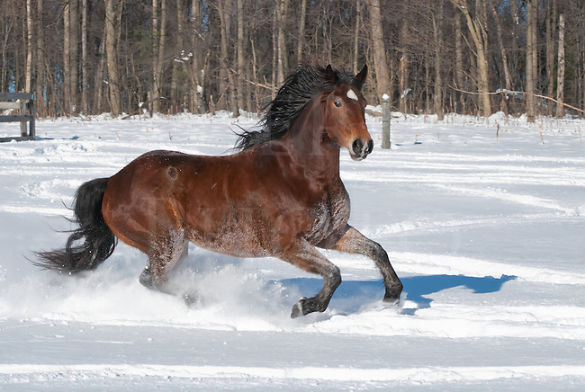 Horse running through new snow in sunlight, a Rocky Mountain breed  animal looking into the camera, Pennsylvania, PA, USA.