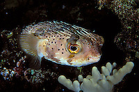 Spiny Porcupinefish