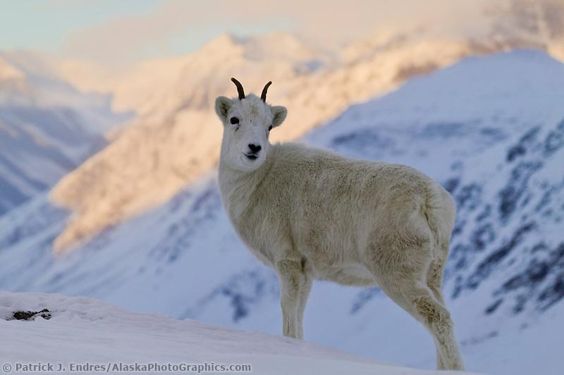 Dall sheep ewe stands in the snow in Atigun Pass, Brooks Range, Alaska