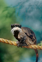 680043004 a captive zoo animal emperor tamarin sanguinus imperator peches on a hanging rope in its enclosure at an aaza accredited facility - species is native to western south america in bolivia peru and brazil