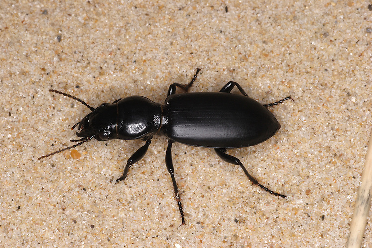 Ground Beetle - Broscus cephalotes