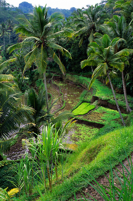 INDONESIA, BALI, TERRACED RICE FIELDS AT GUNUNG KAWI