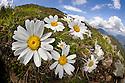 Alpine Moon Daisy (Leucanthemopsis alpina), fisheye lens view showing habitat, growing on mountainside. Nordtirol, Tirol, Austrian Alps, Austria, 2100 metres altitude, June.