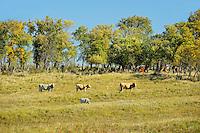 Cattle. <br /> Rosenhof<br /> Saskatchewan<br /> Canada