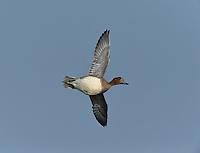 Wigeon - Anas penelope - winter