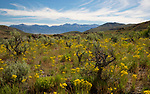 Idaho, South Central, Custer County, Mackay.  A patch of yellow wildflowers blooms among the sagebrush in late spring in the White Knob Mountains with the Lost River Range in the distance.