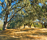 Napa Valley Oaks II