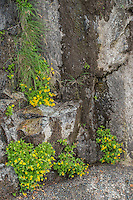 Arnica growing on rock cliffs