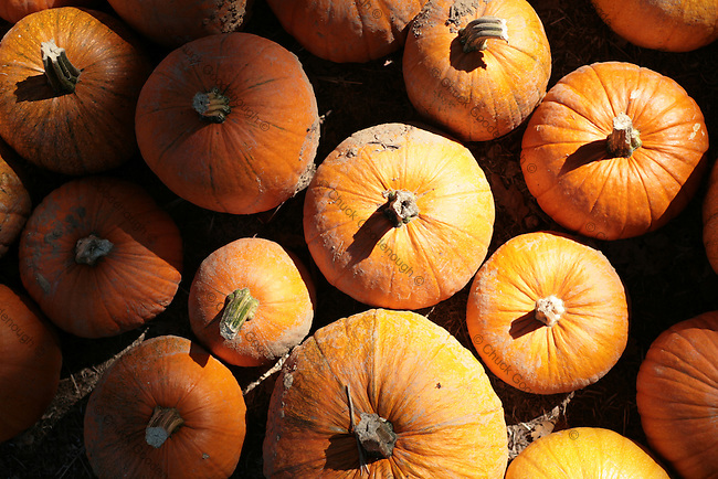 Stock Photo of a Pile of pumpkins in a large group at a Farm Stand