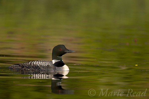 Common Loon (Gavia immer), adult in breeding plumage, Michigan, USA