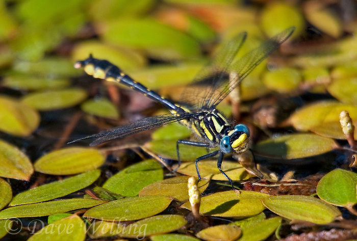 333900011 a wild male banner clubtail dragonfly gomphus apomyius perches on waterborne vegetation in indian creek jasper county texas united states