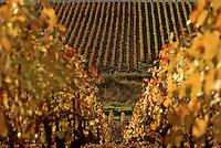 Europe/France/Champagne-Ardenne/51/Marne/Hautvillers: Vignoble Champenois de la Vallée de la Marne en automne