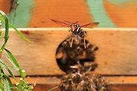 The Asian hornet will hover in front of the hive's entry to hunt the bees returning from the flowers with their load of pollen and nectar. Tired, weighed down, these bees are easy prey... ///Le frelon asiatique adopte un vol stationnaire devant l'entrée de la ruche pour chasser les abeilles chargées de pollen et de nectar qui rentre de butinage. Fatiguées, alourdies, elles sont des proies plus faciles…