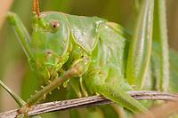 Female great green bush-cricket (Tettigonia viridissima). Dorset, UK