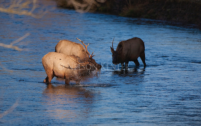 Elk feeding on underwater plants in a stream in Montana
