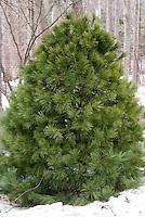 Pinus strobus Eastern White Pine in winter snow, popular Christmas tree evergreen conifer, live