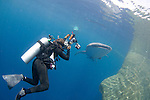 A diver films a Whale Shark , Rhincodon typus, under a fishing platform, these sharks are friends with the fishermen who hand feed them at Cendrawasih Bay, West Papua, Indonesia, Pacific Ocean