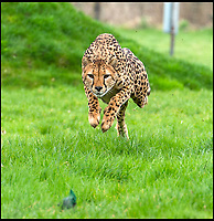 BNPS.co.uk (01202 558833)<br /> Pic: IanTurner/BNPS<br /> <br /> Full throttle... Longleat's Cheetah Wilma shows her cubs the speed needed to chase down prey.<br /> <br /> Two cheeky cheetah cubs have proven they were born to run - showing off their impressive speed for the first time.<br /> <br /> The six-month-old rare twins Poppy and Winston, the first cheetahs ever to be born at Longleat Safari Park in Wiltshire, have started developing the hunting skills they would need in the wild.<br /> <br /> Keepers at the wildlife park set up a speeding lure, similar to those used at greyhound races, to put the youngsters through their paces.