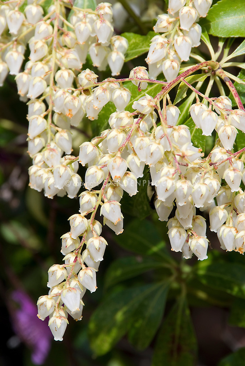 Pieris japonica Carnaval flowers in spring, white bell like shaped blooms of Japanese Andromeda flowering deer resistant shrub