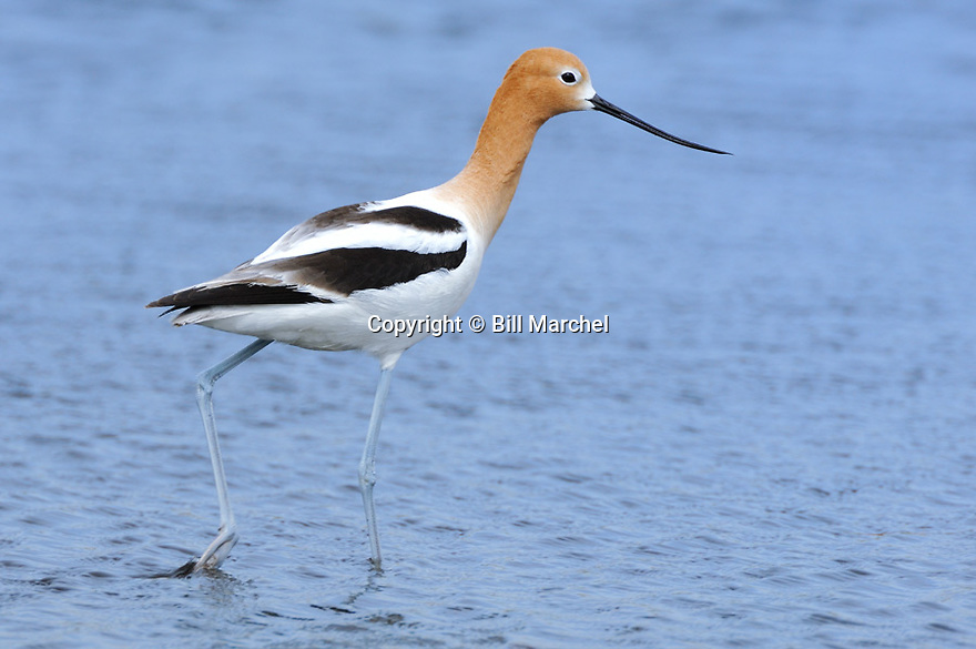 00055-001.02 American Avocet is wading in shallow water typical of species as it forages for food.  Shorebird, bird, birding, wade.