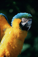 A colorful blue and gold Macaw flaps its wings.