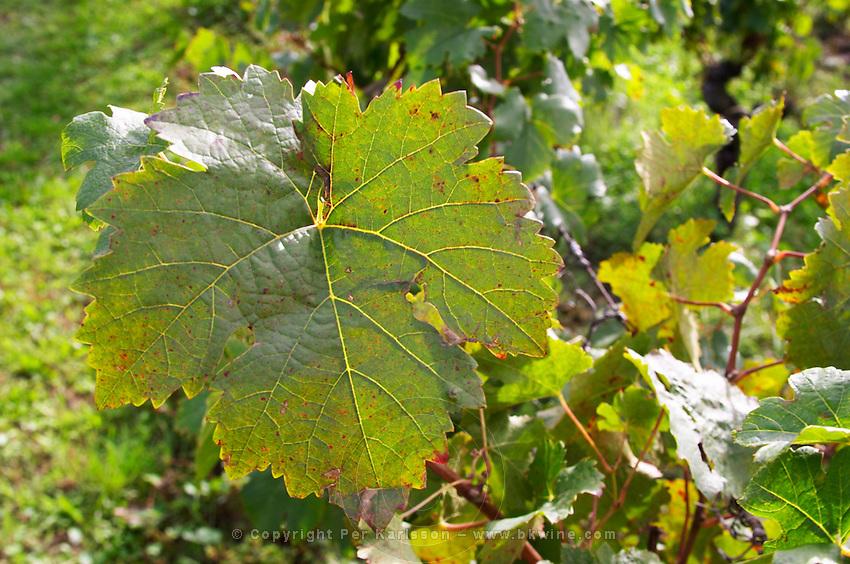 Vine leaf. Chateau Richelieu, Fronsac, Bordeaux, France