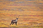 Female Caribou on the fall colored tundra, north of the Gates of Arctic National Park & Preserve along the Dalton Hwy, Arctic Alaska, Autumn.