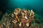 Colony of tunicates, sea squirts or ascidians (Polycarpa aurata). North Raja Ampat, West Papua, Indonesia