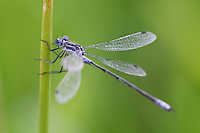Lyre-tipped Spreadwing Damselfly
