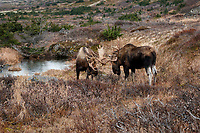 Fall landscape of bull moose in Chugach State Park. Southcentral, Alaska<br /> <br /> Photo by Jeff Schultz/SchultzPhoto.com  (C) 2018  ALL RIGHTS RESERVED