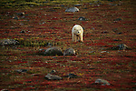 Polar bear walking across tundra.