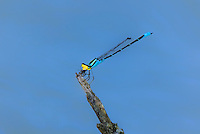 399780008 a wild male caribbean yellow-face damselfly neoerythromma cultellatum feeds on insect prey while perched on a dead branch over a stream in the rio grande valley in south texas