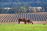 Horses grazes with partially harvested seed corn fields in the fall.