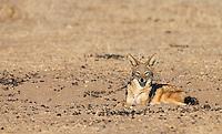 A black-backed jackal photographed at Mashatu.