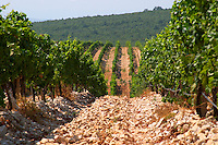 Rows of vine in the vineyard. Vines equipped with black rubber or plastic tubes for artificial drip irrigation watering. Lime stone limestone based very white soil, very much stones pebbles rocks. Zilavka grape variety. One of their best vineyards with very poor soil on a hilltop mountain near Citluk and Zitomislic. Vinarija Citluk winery in Citluk near Mostar, part of Hercegovina Vino, Mostar. Federation Bosne i Hercegovine. Bosnia Herzegovina, Europe.