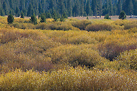 Shrub and grasslands dominate wetland areas in Yellowstone National Park, Wyoming