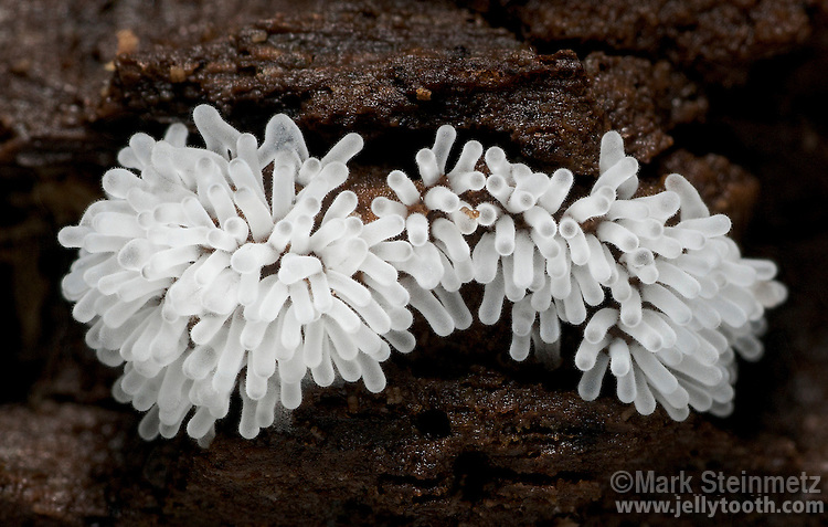 Coral Slime (Ceratiomyxa fruticulosa var. fruticulosa), a slime mold resembling coral or icicles in its early fruiting state. The fuzzy appearance of each projecting column (approx 2mms long) is created by attached spores. Licking County, Ohio.