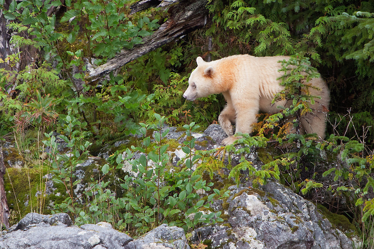 "Kermode ""Spirit"" Bear walking over rocks through the brush"