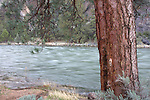 A large ponderosa along the Crooked River, Oregon.