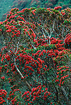 Metrosideros umbellata, the southern rātā, is a tree endemic to New Zealand