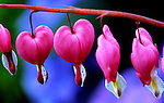 Bleeding Hearts, Seattle Conservatory, Wildflowers