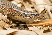 Common sun skink, Eutropis cf. multifasciata, near Eraulo, Ermera District, Timor-Leste (East Timor)