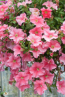 Petunia Fanfare Salmon, pink coral annual flowers in hanging pot container