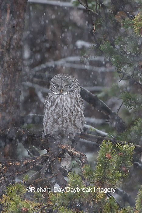 01128-00106 Great Gray Owl (Strix nebulosa) in snowstorm, Yellowstone National Park, WY