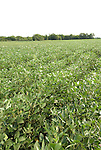 Minnesota agriculture: corn and soybeans are the two main crops of Southern Minnesota.  Field of soybeans..Photo mnqual330-74834..Photo copyright Lee Foster, www.fostertravel.com, 510-549-2202, lee@fostertravel.com.
