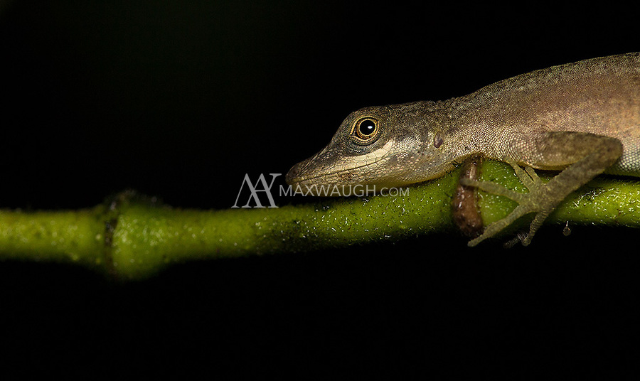 An anole lies still at night.  If anyone has a species ID, I'd welcome it.