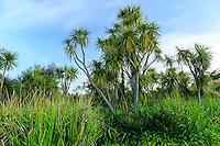 France, Manche (50), Vauville, Jardin botanique du château de Vauville, la grande pelouse bordée de cordylines australes (Cordyline Australis)