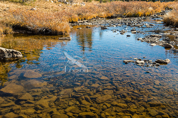 Brook trout (Salvelinus fontinalis) spawning in small mountain stream in Beartooth Mountains near the Montana/Wyoming border.  Fall.