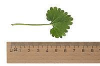 Gewöhnlicher Gundermann, Gundermann, Efeublättriger Gundermann, Echt-Gundelrebe, Gundelrebe, Glechoma hederacea, Alehoof, Ground Ivy, ground-ivy, gill-over-the-ground, creeping charlie, tunhoof, catsfoot, field balm, run-away-robin, le Lierre terrestre, Le gléchome lierre terrestre, le lierre terrestre commun. Blatt, Blätter, leaf, leaves